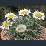 Picture of Townsendia alpigena var. alpigena