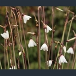 Picture of Acis autumnalis 'September Snow'