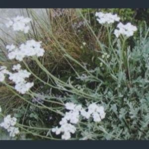 Picture of Achillea clavennae