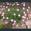 Picture of Delphinium brunonianum