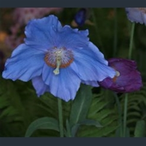 Picture of Meconopsis 'Barney's Blue'