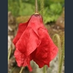 Picture of Meconopsis punicea