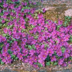 Picture of Primula juliae