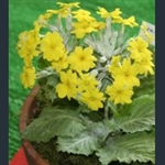 Picture of Primula x kewensis