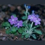Picture of Primula minor