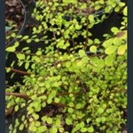 Picture of Spiraea schneideriana