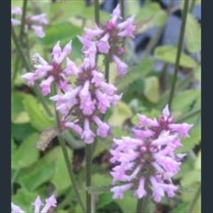 Picture of Betonica officinalis subsp. officinalis white-flowered
