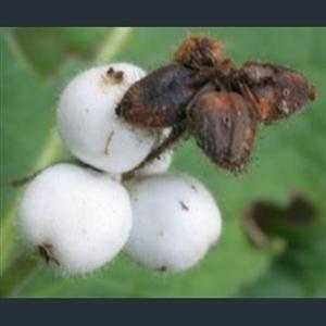 Picture of Triosteum pinnatifidum