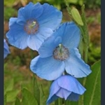 Picture of Meconopsis 'Bobby Masterton'
