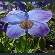 Picture of Meconopsis 'Huntfield'
