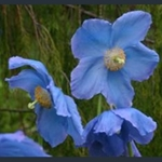 Picture of Meconopsis 'Mop-head'