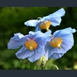 Picture of Meconopsis baileyi
