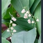Picture of Convallaria majalis var. rosea