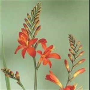 Picture of Crocosmia 'Mistral'