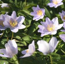 Anemone nemorosa 'Allenii'. Photo: A. Hoog.