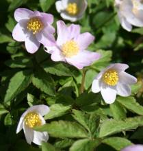 Anemone nemorosa 'Lucia' AMH 7804. Photo: A. Hoog.
