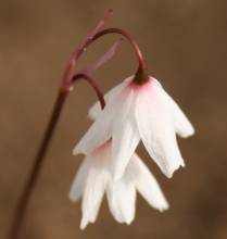 Acis autumnalis var. oporantha. Photo: A. Hoog.