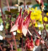 Aquilegia  'Red Hobbit'