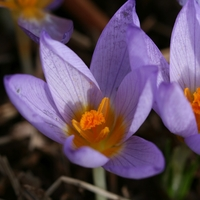 3d092c70a Buy Bulbs from Kevock Garden Plants - Scotland