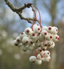 Sorbus microphylla agg.