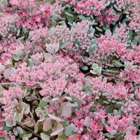 Sedum cauticola 'Coca-Cola'