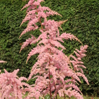 Astilbe 'Bressingham Beauty'