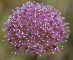 Allium wallichii