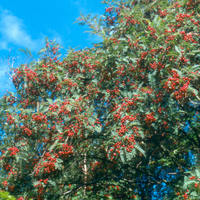 Sorbus vilmorinii in early autumn